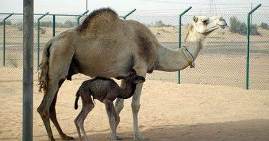 UAE-SCIENCE-CAMEL-CLONE